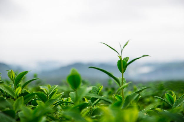 Top of the tea leaves in the farm Premium Photo
