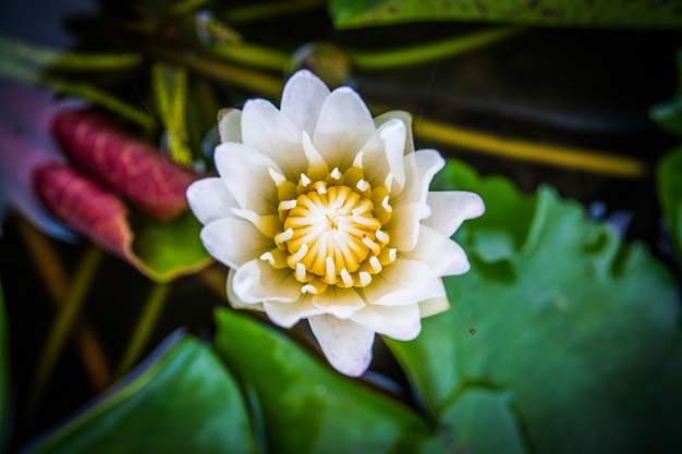 Top view, closeup white lotus flowers bloom in the water Premium Photo
