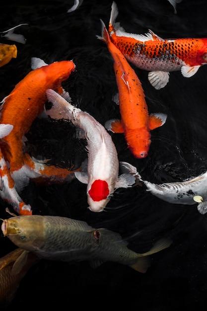 Вид сверху красочные рыбы кои Бесплатные Фотографии