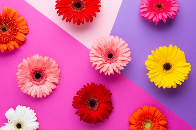 Top view coloured gerbera flowers Free Photo