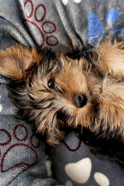 Vista dall'alto del simpatico cucciolo di yorkshire terrier che riposa nel suo letto Foto Gratuite