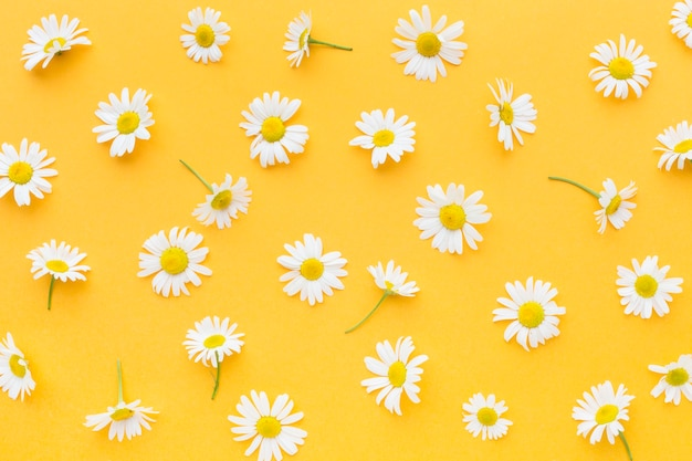 Top view daisies arrangement Premium Photo