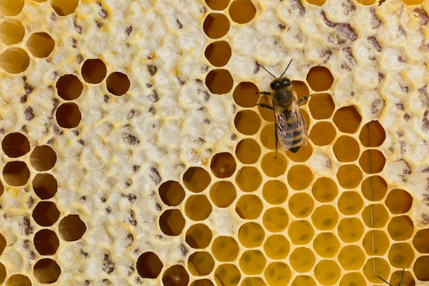 Top view honeycomb and a bee Free Photo