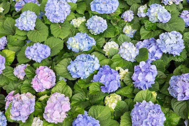Top view hydrangea flower (hydrangea macrophylla) in a garden. Premium Photo