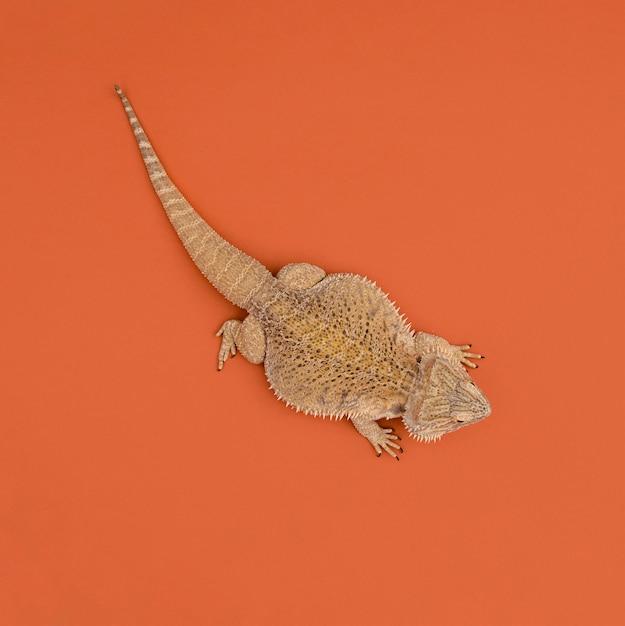 Vista dall'alto del rettile iguana Foto Gratuite