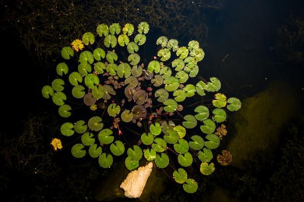 暗い川のトップビューロータスリーフ Premium写真