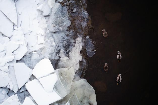 川のアヒルの平面図。水に飛び散るアヒル。 Premium写真