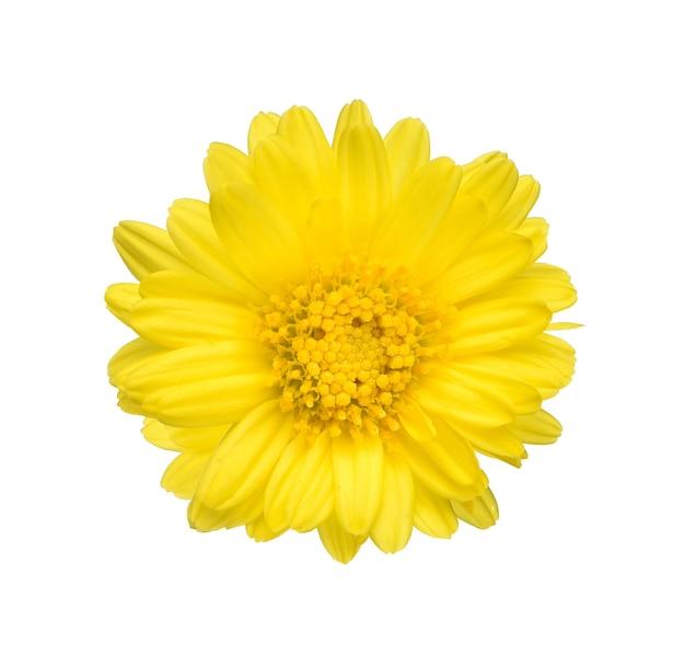 白い背景の上の1つの菊の上面図 Premium写真