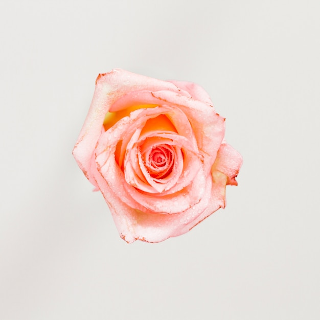 Top view of a rose Free Photo