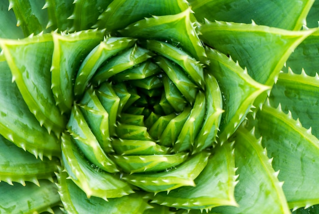 Top view of spiral aloe.aloe polyphylla closeup wiew. Premium Photo