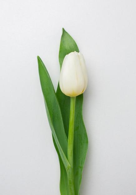 上面図チューリップの花 無料写真