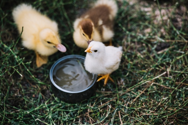 Top view of two ducklings with white chicks drinking water from bowl Free Photo