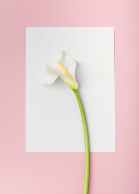 Top view white calla lily flower on white empty paper card Free Photo
