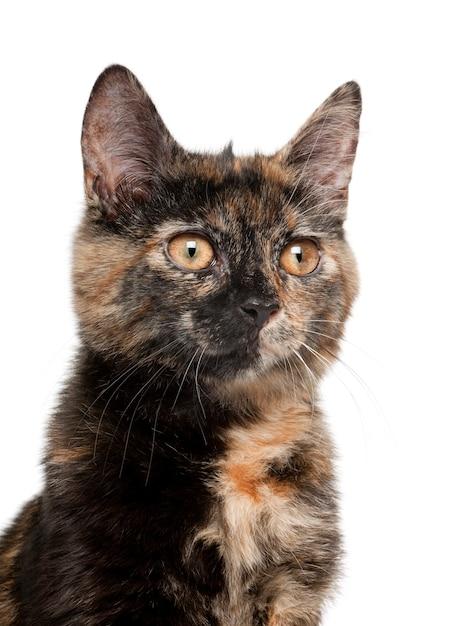 Premium Photo   Tortoiseshell cat kitten