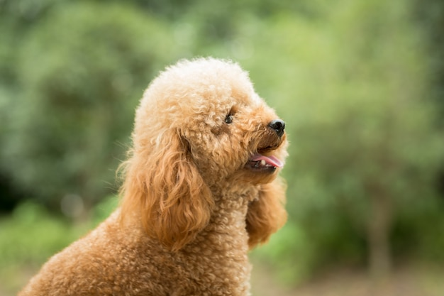 Toy poodle on grassy field Free Photo