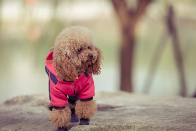 Toy poodle playing in a park Free Photo