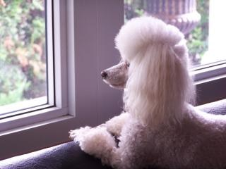 Toy Poodle, poodle Free Photo