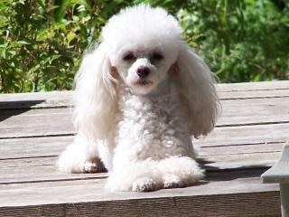 Toy poodle Free Photo