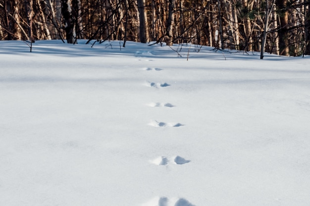 Traces of hare on snow cover Premium Photo