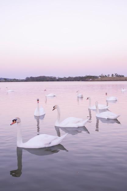 朝の自然湖で泳ぐ白鳥の静かなシーングループ。反射白鳥と白鳥の背景は桃と愛のシンボル Premium写真