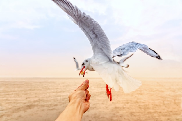 Traveller feeding food a seagull in flight by hand Premium Photo