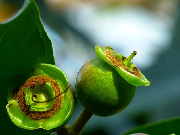 Tree apple plant fruits rose leaves Photo   Free Download