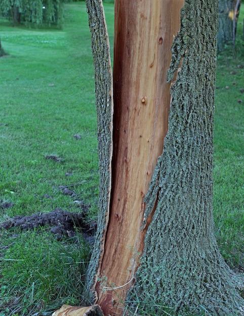 Кора дерева отслаивается от ствола и раскалывается после удара молнии. Бесплатные Фотографии