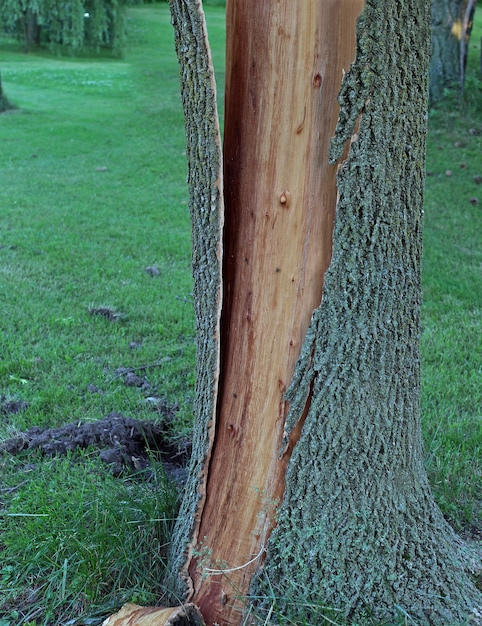 Tree bark is split from trunk and shattered after being struck by lightning. Free Photo