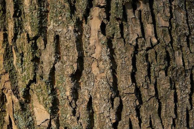 Tree bark texture - acacia. wall for web page fill or graphic design. pattern. map for 3d texture. wooden Premium Photo