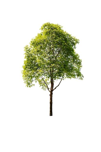 Tree in garden isolated on white background Premium Photo