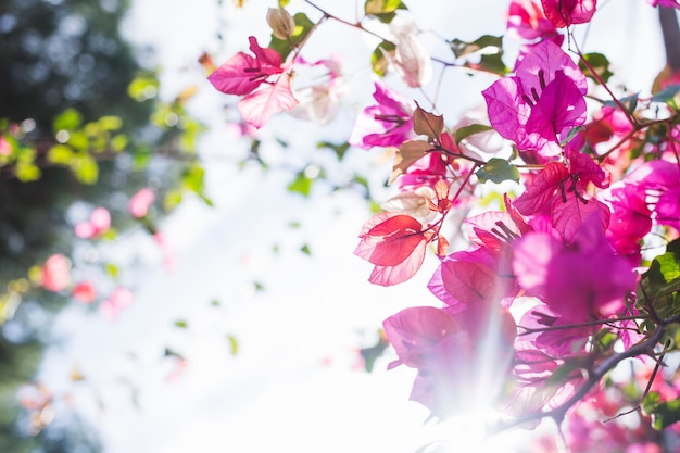 Tree in blossom with sun rays Free Photo