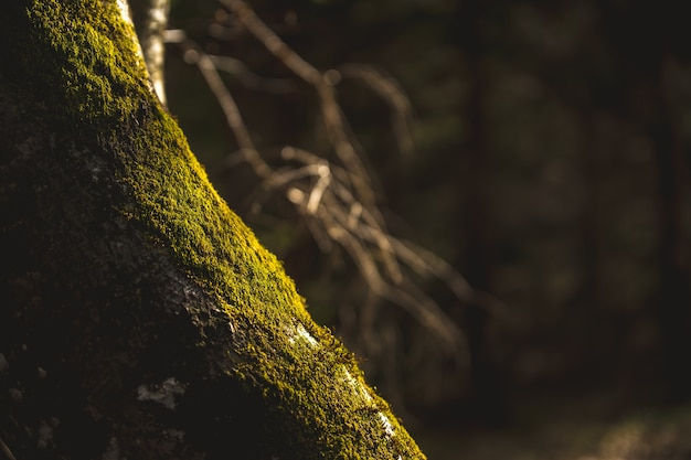 A tree overgrown with moss is shined upon by the evening sun. Free Photo