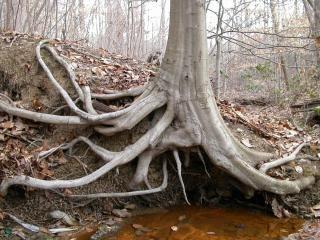 Tree roots, tree Free Photo