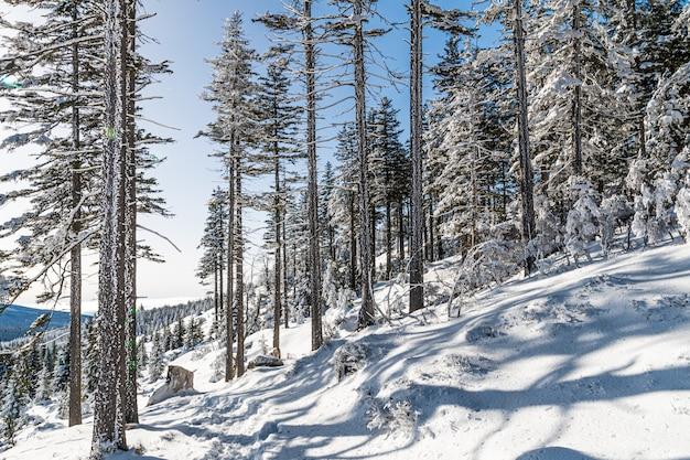日光と青い空の下の森の雪に覆われた木々 無料写真