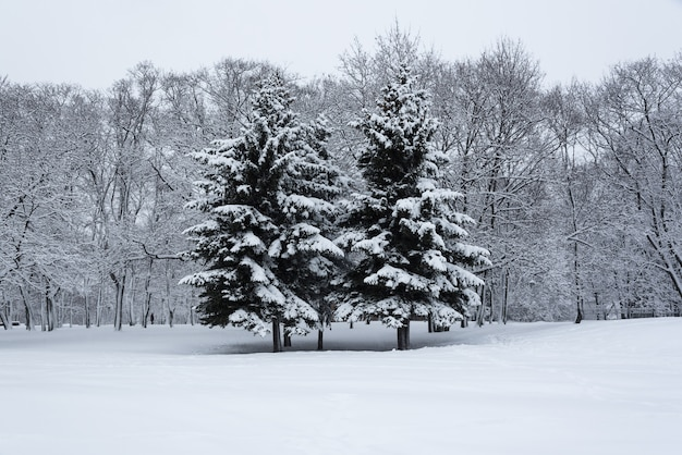 Trees covered with snow in the winter garden. the winter's tale at the kolomenskoye park. Premium Photo