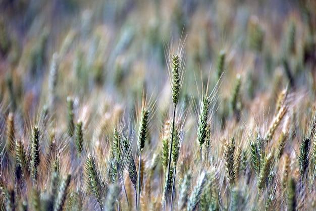 Triticale plantation, a new hybrid forage Premium Photo