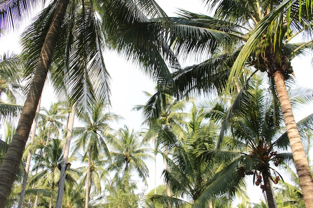 Tropical coconut palm leaves tree for summer background Premium Photo