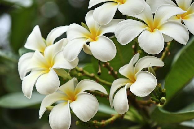 Tropical flowers white frangipani Premium Photo