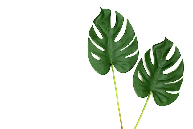Tropical jungle monstera leaves isolated Premium Photo