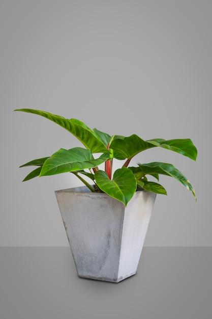 Tropical leaves homalomena rubescens kunth on green background Premium Photo
