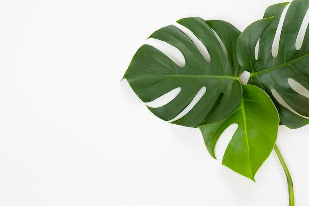 Premium Photo Tropical Leaves Monstera On White Background Exotic leaves, banana leaves, palm leaves, monstera leaves. https www freepik com profile preagreement getstarted 5484244