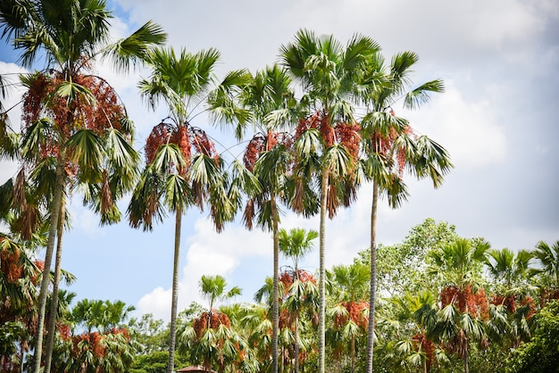 Tropical palm garden in the park with palm fruit on tree growing and sky Premium Photo