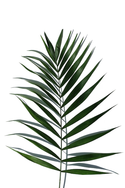 Tropical palm tree leaf on a white background Premium Photo