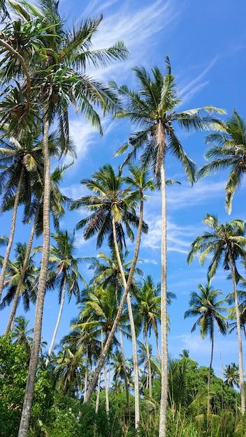 Тропические пальмы на фоне голубого неба. райский остров, природа и растения Premium Фотографии