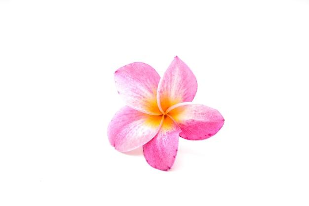 Плюмерия тропический розовый цветок на белом фоне Premium Фотографии