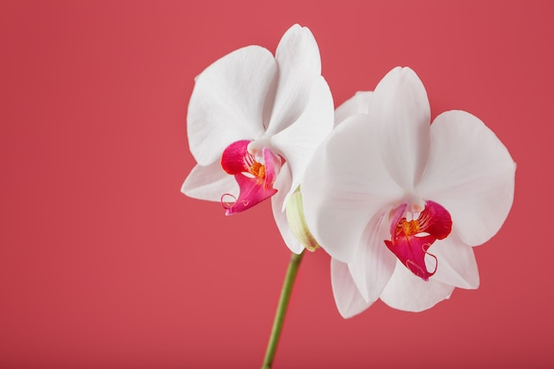 Tropical white orchid on a pink background. free space, copy-space Premium Photo