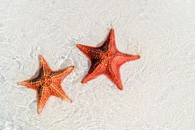 Tropical white sand with red starfishes Premium Photo
