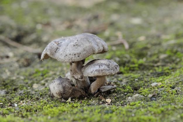 3つのlyophyllum littorina菌の房 無料写真