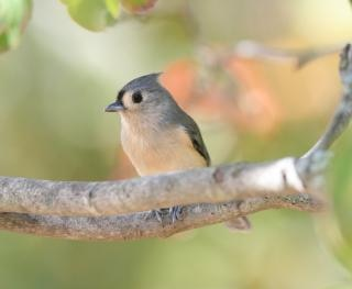 Tufted titmouse in a tree Free Photo