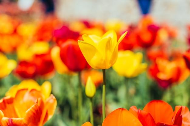 Tulip. beautiful bouquet of tulips. Premium Photo